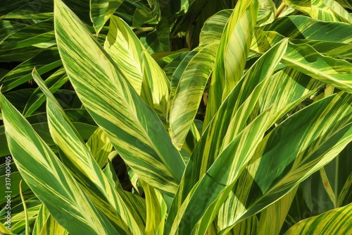 Alpinia plant Canvas Print