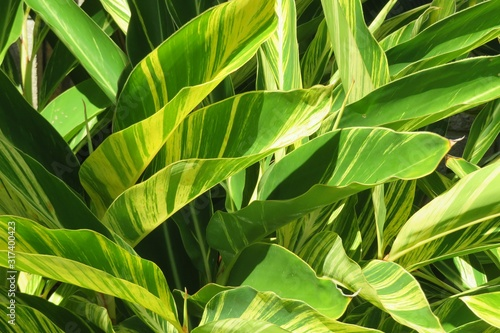 Alpinia plant Wallpaper Mural