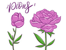 Pions Flowers. Hand Drawn Vector Illustration. Isolated On White Background.