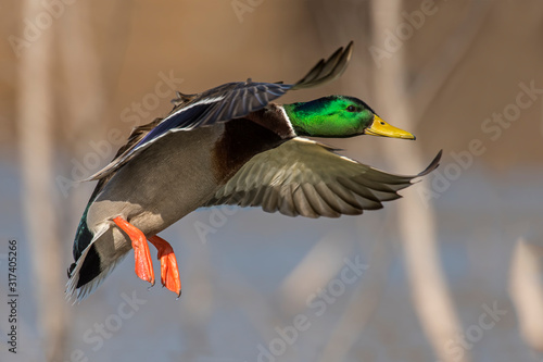 Mallard Drake in flight Fototapeta