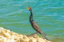 Snake Necked Cormorant Squawks