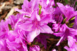 canvas print picture - Purple, beautiful flowers of Korean azalea, Rhododendron yedoense