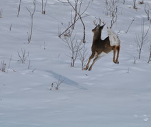 Beautiful Whitetail Buck Airborne Running In The Snow