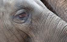 Close-up Of An Asian Elephant