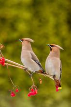 Bohemian Waxwing - Bombycilla Garrulus - Feeding On A Berries In Winter Time