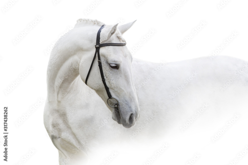 Fototapeta Grey horse with long mane close up portrait on white background. High key image