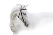 Grey horse with long mane close up portrait on white background. High key image