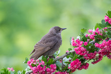 A Cute Baby Starling (Sturnus ...