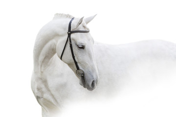 Grey horse with long mane close up portrait on white background. High key image