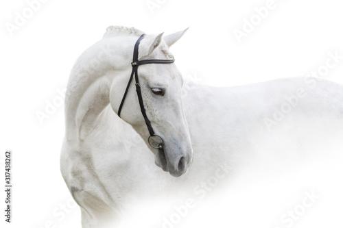Fototapeta Grey horse with long mane close up portrait on white background. High key image obraz