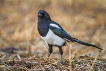 Birds - Common Magpie (Pica Pi...