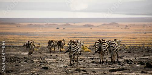 Fototapety, obrazy: zebra zebrata