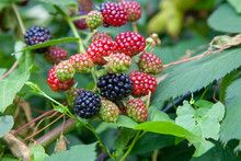 Red And Black Wild Berries Of Blackberry. Ripening Of The Blackberries On The Blackberry Bush In Forest..