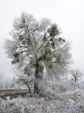 Mistletoe Parasitic Plant On A Frozen Tree In Winter