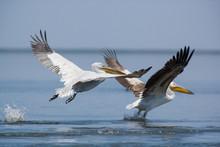 Pelicans Soaring. The Volga Ri...