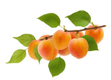 Isolated Apricot. Ripe Yellow Apricot Fruit On Tree Branch With Green Leaves Isolated On White Background