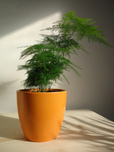 The Asparagus Fern (Asparagus Sprengeri) Is A Common And Fast-growing Houseplant. It's Called A Fern, But Is Actually A Member Of The Lily Family. It Has Fine Needle-like Leaves And Arching Stems.