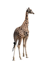 Giraffe Isolated On A White Ba...