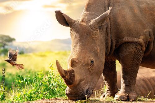 Vászonkép African rhino in savannah at sunset.