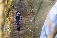 Great Spotted Woodpecker Near ...