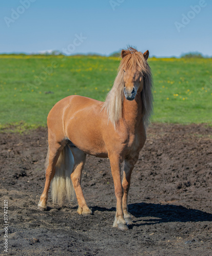 Beautiful Icelandic horse in the field