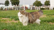 A Fluffy White Cat Stands On T...