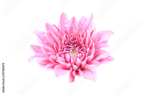 Obraz na plátně pink chrysanthemum flower isolated on white background with clipping path
