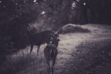 Deer Walking On A Forest Path ...