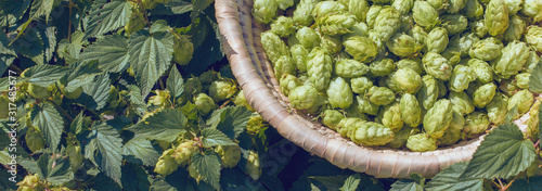 Obraz Cones of hops in a basket for making natural fresh beer, concept of brewing. Beautiful panoramic image, tinted. - fototapety do salonu