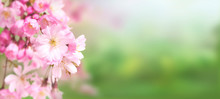 Pink Cherry Tree Blossom Flowers Blooming In Springtime Against A Natural Sunny Blurred Garden Banner Background Of Green And White Bokeh.