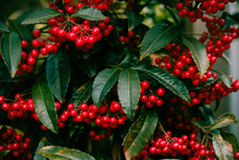 Red Fruits Of Ardisia Crenata Or Coral Berrie In Japanese Winter - Christmas Berry