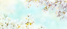 White Cherry Tree Blossom Flowers Blooming In Springtime Against A Natural Sunny Blurred Garden Banner Background Of Pale Blue And White Bokeh.