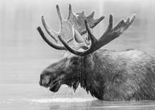 Bull Moose In Lake. Black And ...