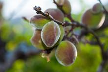 Closeup Green Apricots Ripenin...