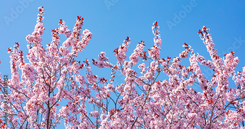Leinwand Poster cherry tree in bloom.pink flowers