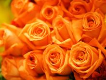 Orange, Old Rose Color Rose Fl...