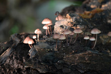 Group Of Mushrooms On A Decayi...