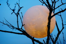 Round Full Moon In Tree Branch...
