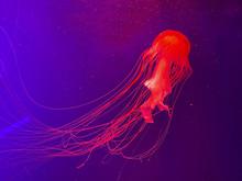 Aquarium With Jellyfish, Glowi...