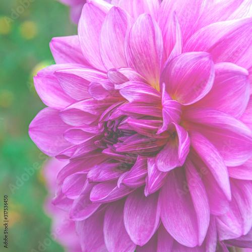 Bright purple garden flower with lush petals - 317536450