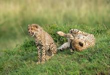 Young Cheetah Sitting While Mo...