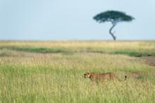 Cheetah Walking In A Tall Gras...