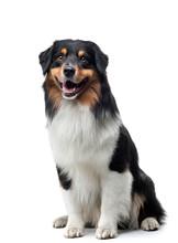 Dog On A White Background. Happy Pet In The Studio. Tricolor Australian Shepherd.