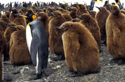 Photo MANCHOT ROYAL aptenodytes patagonica