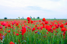 Wild Poppy And Cornflowers In Dew On A Field In A Cloudy Morning In Ukraine. Copy Space.