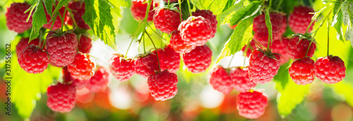 Fototapeta branch of ripe raspberries in a garden obraz