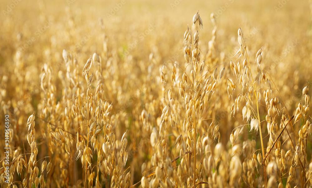 Fototapeta Ripe ears of oats in a field