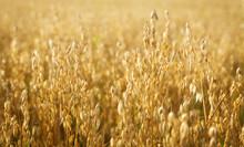 Ripe Ears Of Oats In A Field