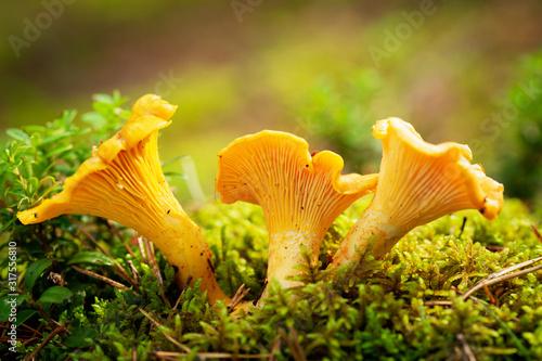 Fotografia Chanterelle mushrooms in a forest. Edible mushrooms