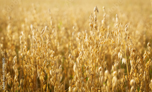 Photo Ripe ears of oats in a field
